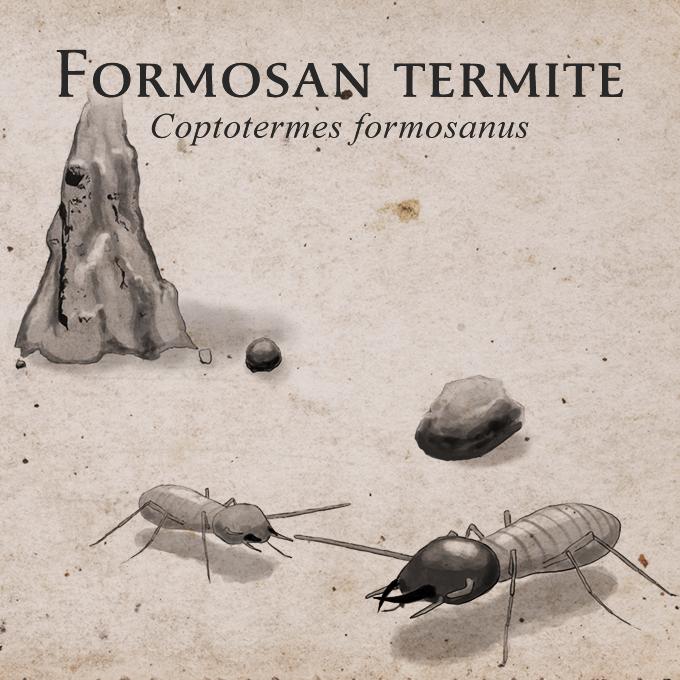 Coptotermes formosanus - Formosan termite