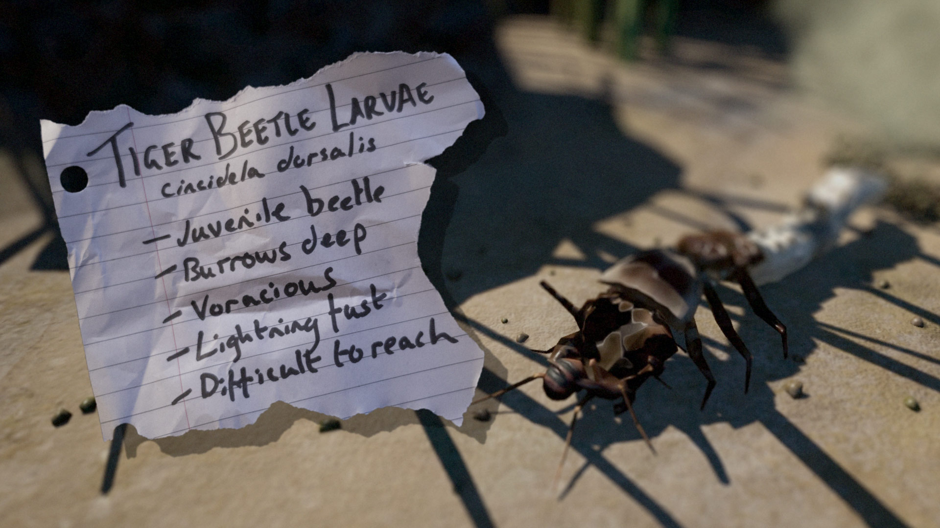 all about the beach tiger beetle larvae